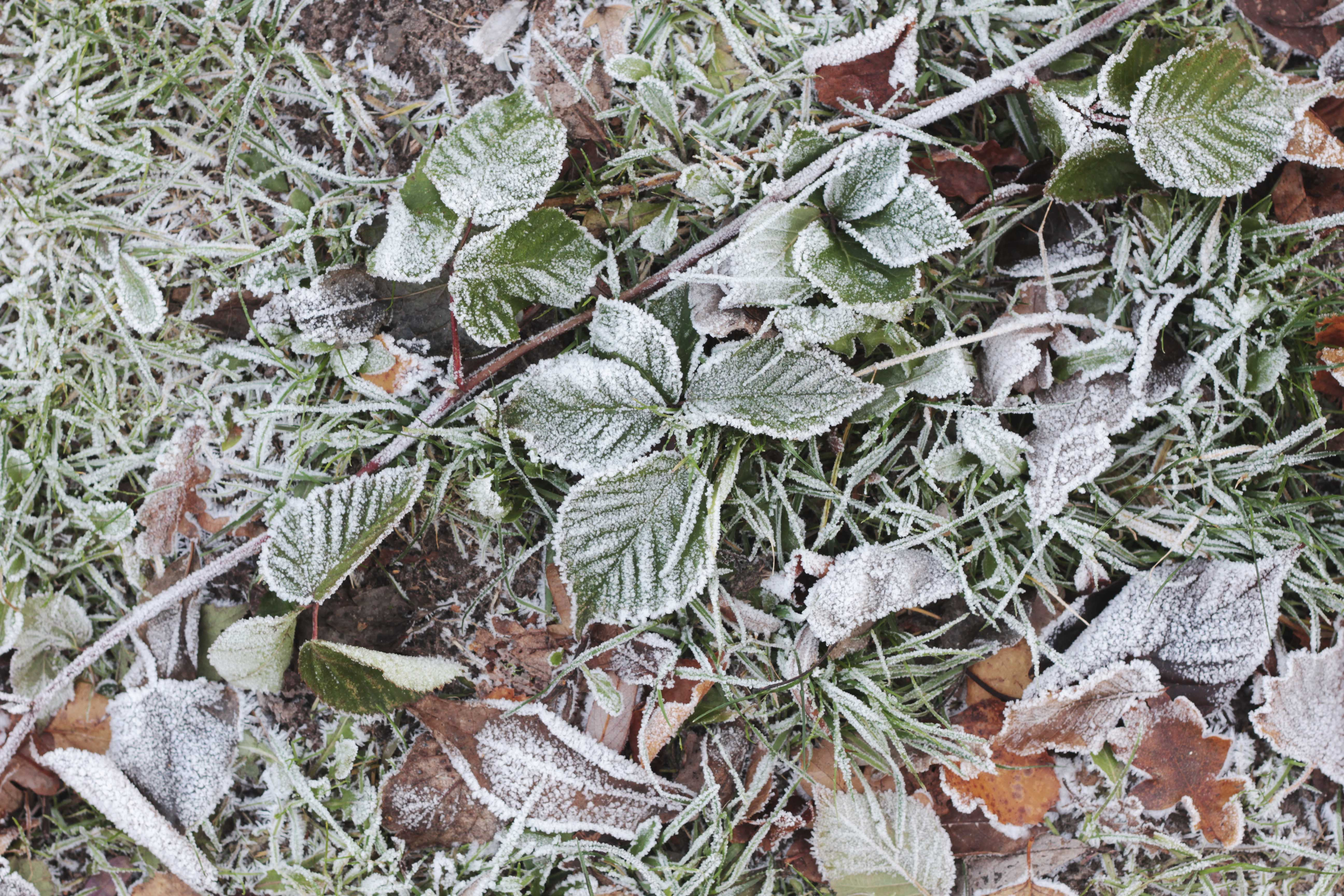 seasonal-eating-december-frost-plants