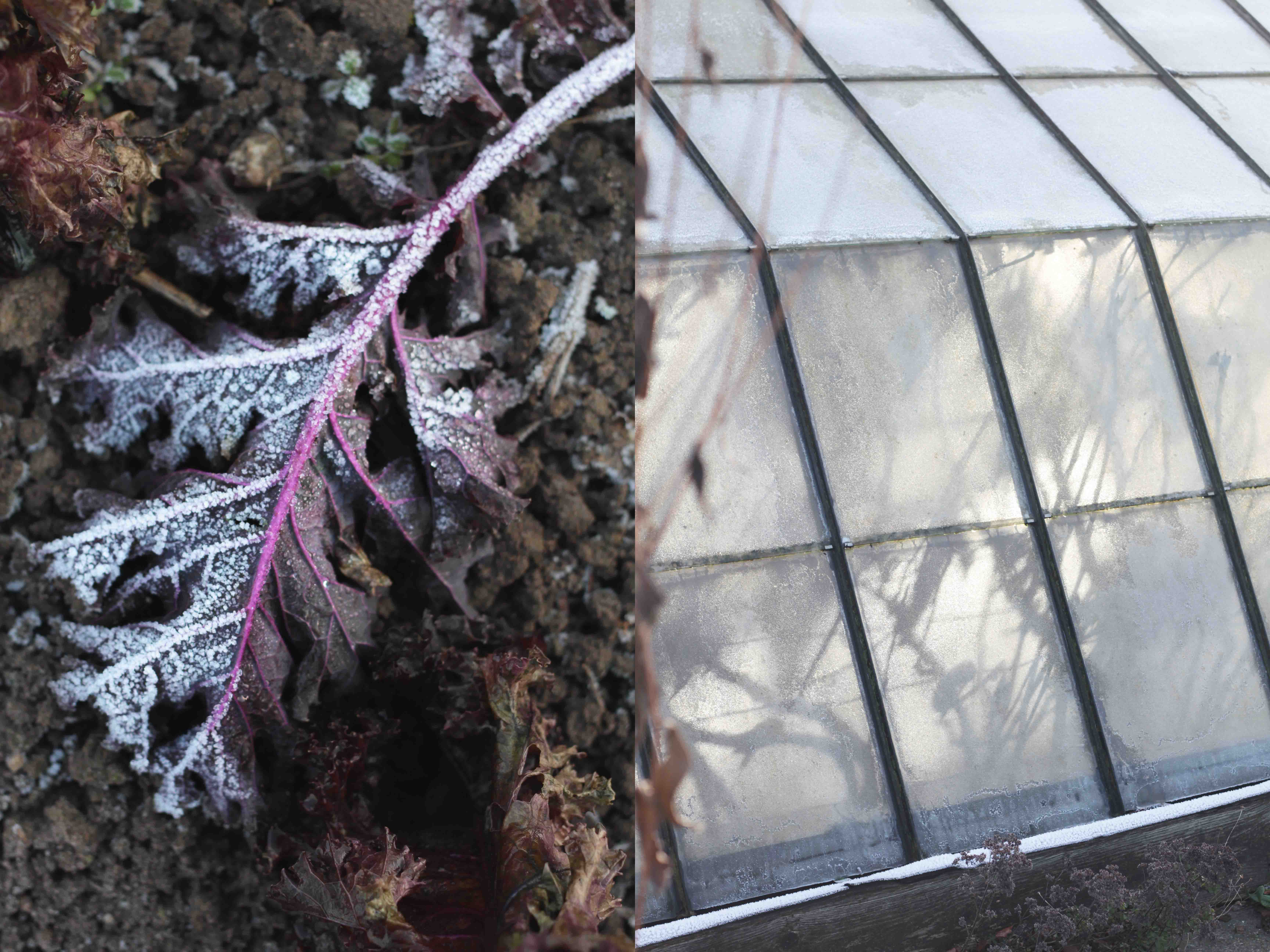 seasonal-eating-december-greenhouse-kale