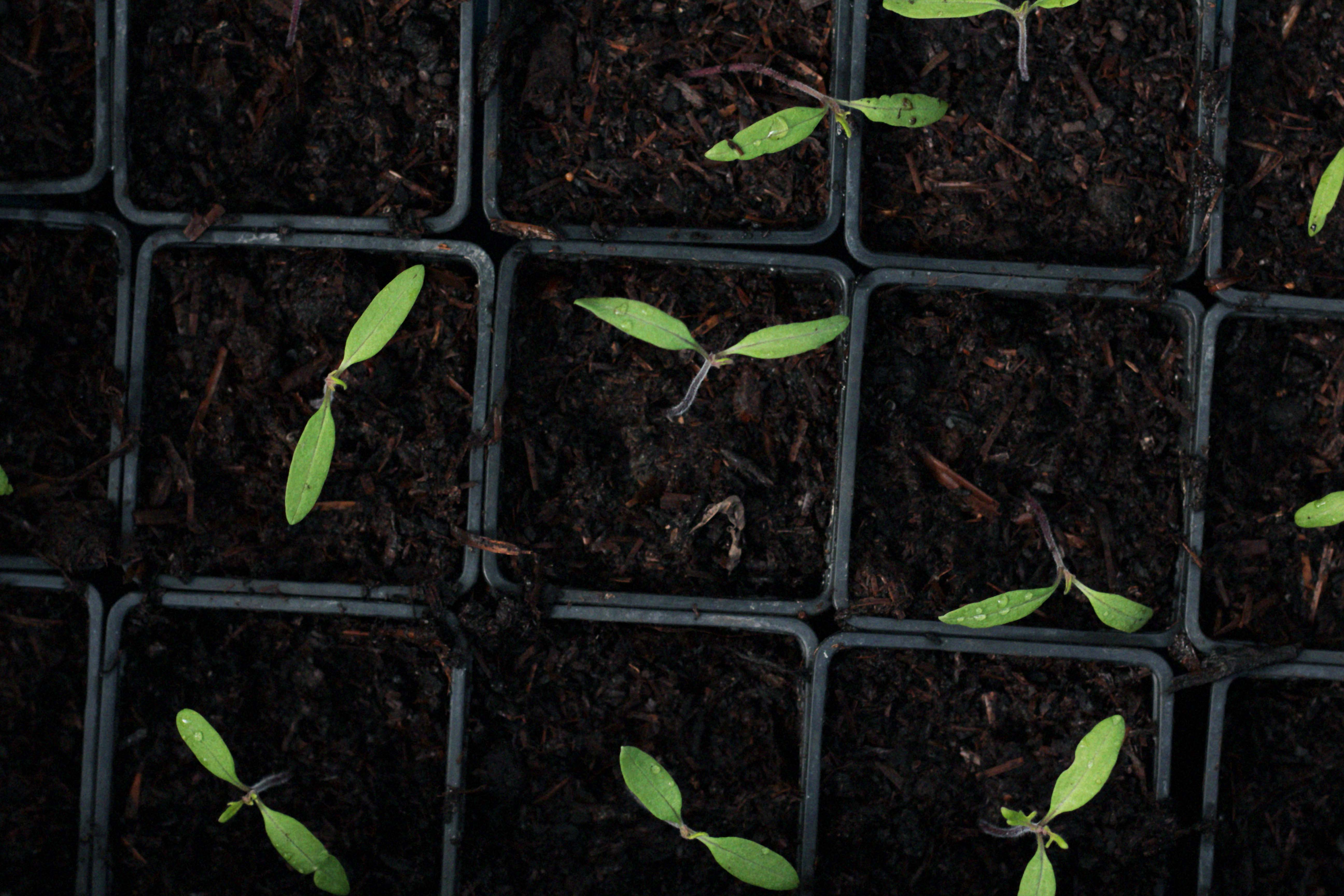 seedlings growing organic